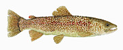 Marble Originals - The Marble Trout of Slovenia by Thom Glace