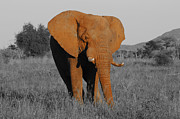 Bull Elephant Posters - The Matriarch Rules Poster by Douglas Barnard