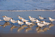 Shore Birds Photos - The Matrix Gang by Susanne Van Hulst