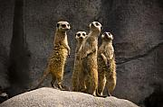 Meerkat Photos - The Meerkat Four by Chad Davis