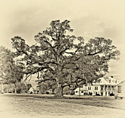 Live Oaks Digital Art Framed Prints - The Mighty One sepia Framed Print by Steve Harrington
