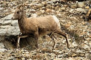 Big Horn Sheep Photos - The Morning Run by Adam Jewell