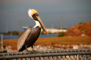 Cape Canaveral Prints - The most beautiful Pelican Print by Susanne Van Hulst