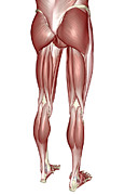 Human Joint Digital Art - The Muscles Of The Lower Body by MedicalRF.com