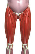 The Muscles Of The Lower Limb Print by MedicalRF.com