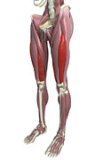 Biomedical Illustration Photos - The Muscles Of The Thigh by MedicalRF.com