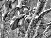 Ape Photo Originals - The Naked Ape by William Fields
