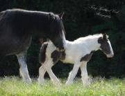 Drum Horse Photos - The New Drum Filly by Terry Kirkland Cook