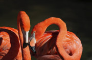 Flamingos Acrylic Prints - The newlywed Acrylic Print by Thanh Thuy Nguyen