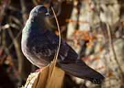 Bird Photo Prints - The Noble Pigeon Print by Bob Orsillo