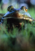 Bullfrog Posters - The North American Bullfrog, Rana Catesbeiana Poster by David Nunuk
