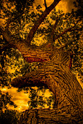 Burros Metal Prints - The Oak Tree at Red Rock Canyon Metal Print by David Patterson