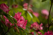 Rhodies Prints - The Observers Print by Mike Reid
