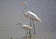 Snowy Egret Originals - The Odd Couple by Kenneth Albin