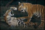 And Threatened Animals Framed Prints - The Offspring Of Captive Breeding Framed Print by Michael Nichols