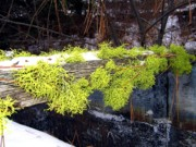 Pine Needles Photos - The Old Mossy Flume by Will Borden