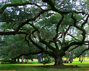 Oak Alley Plantation Photo Prints - The Old Oak Print by Perry Webster
