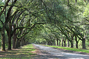 Live Oak Trees Posters - The Old South Series I Poster by Suzanne Gaff