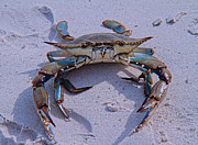 Blue Crab Posters - The One that Got Away Poster by East Coast Barrier Islands Betsy A Cutler