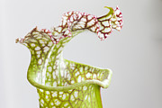 Pitcher Plants Posters - The Open Mouth Of The Carnivorous Poster by Taylor S. Kennedy