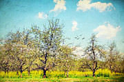 Apple Trees Framed Prints - The Orchard Framed Print by Darren Fisher