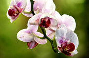 Pretty Orchid Posters - The Orchid Poster by Karen M Scovill