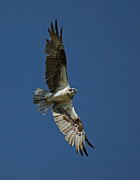 Birds In Flight Photos - The Osprey by Ernie Echols