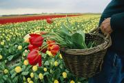 Baskets Photos - The Owner Of The Yellow Tulip Field by Sisse Brimberg