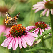 Painted Lady Butterflies Prints - The Painted Ladies Print by Ernie Echols