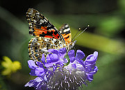 Painted Lady Butterflies Prints - The Painted Lady Butterfly  Print by Saija  Lehtonen