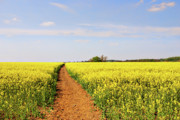 Canola Field Prints - The Path to Bosworth Field Print by John Edwards