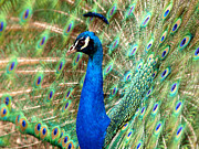 Macro Digital Art Acrylic Prints - The Peacock Acrylic Print by Mingqi Ge