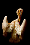 Boobies Metal Prints - The pelican Metal Print by Angela Doelling AD DESIGN Photo and PhotoArt