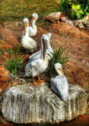 White Pelicans Framed Prints - The Pelican Clan Framed Print by Saija  Lehtonen