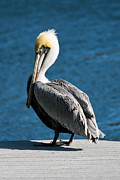Gulf Breeze Posters - The Pelican Poster by Steven Gray