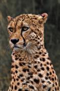 Cheetah Digital Art Metal Prints - The Pensive Cheetah Metal Print by Chris Lord