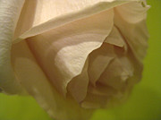 Phachesnie Studio - The Perfect Rose