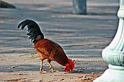 Roosters Photos - The picking Rooster by Susanne Van Hulst