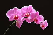 Orchid Artwork Posters - The Pink Orchid Poster by Juergen Roth