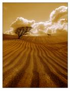 Potato Framed Prints - The Ploughed Field Framed Print by Mal Bray