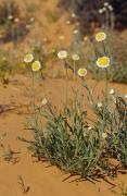 Arid Life Posters - The Poached Egg Daisy Emerges From Red Poster by Jason Edwards