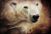 Wild Animals Mixed Media Posters - The polar bear Poster by Angela Doelling AD DESIGN Photo and PhotoArt