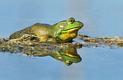 Bullfrog Posters - The pond king Poster by Mircea Costina Photography