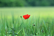 Close Focus Nature Scene Photo Posters - The Poppy Bloom Poster by K Armstrong Photography