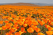 Antelope Framed Prints - The Poppy Fields - Antelope Valley Framed Print by Peter Tellone