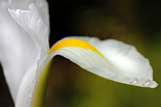 Macro Flower Prints - The Pose White Dutch Iris Flower  Print by Jennie Marie Schell