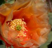 Orange Prickly Pear Blossom Posters - The Prickly Pear World Poster by Joe Kozlowski