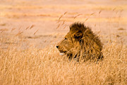 Wild Animal Photos - The Pride by Adam Romanowicz