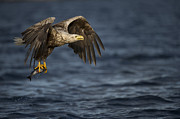 Eagle Picture Prints - The Prize Print by Andy Astbury