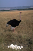 Ostrich Photos - The protector of the eggs by Carl Purcell